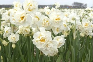 Narcissus Bridal Crown - BIO