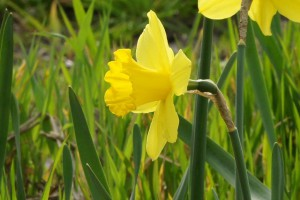 Narcissus Gigantic Star - BIO