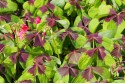 Oxalis deppei Iron Cross - BIO