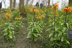 Fritillaria imperialis Early dream - BIO