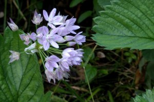 Allium unifolium - BIO
