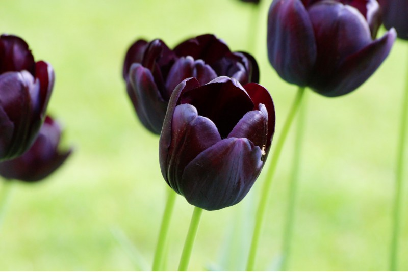 Tulipa Queen of Night organic - BIO