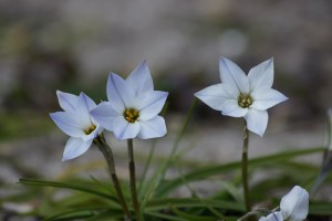 Ipheion uniflorum - BIO
