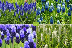 Muscari Mix blauw-wit - BIO