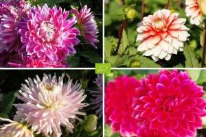 Moeder's recept Dahlia Mix...