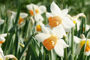 Narcissus Accent - BIO