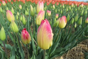 Tulipa Swiss Dream - BIO