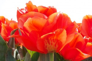 Tulipa Giant Orange Sunrise - BIO