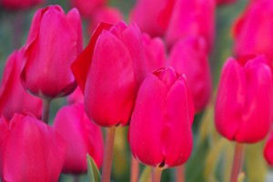 Tulipa Simply Red - BIO