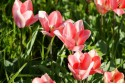 Tulipa Soft Design