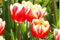 Tulipa My Favourite