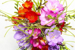 Freesia mix - BIO