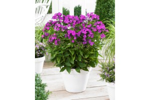 Phlox pan. Famous 'Purple' - BIO