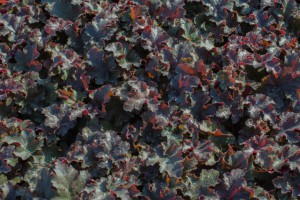 Heuchera 'Chocolate Ruffles' - BIO