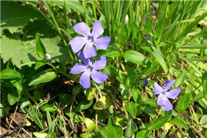 Vinca minor - BIO (Archenzo CC BY SA 3.0)