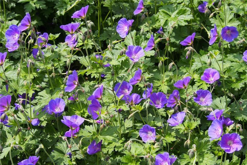 Geranium 'Johnsons Blue' - BIO
