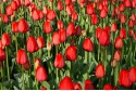 Tulipa Red Impression
