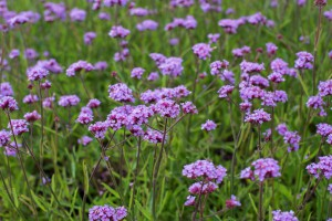 Verbena 'Lollipop' - BIO