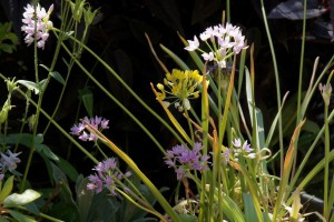 Allium Mix - BIO