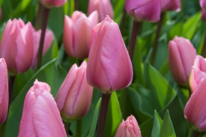 Tulipa Big Love - BIO