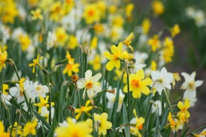 Narcissus MIX