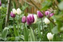 Tulipa Purple Delight Mix