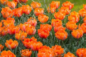 Tulipa Orange Princess - BIO