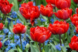 Tulipa Red Princess - BIO
