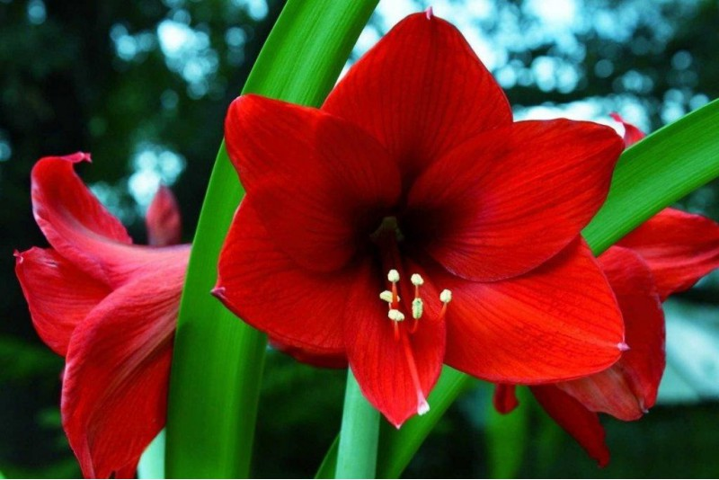 Amaryllis Red Lion XXL - BIO