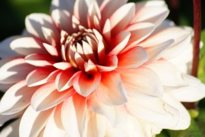Dahlia Larry's Love - BIO